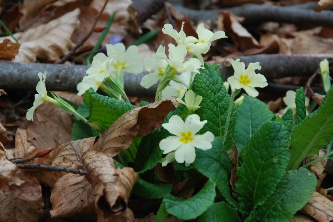 Primula acaulis subsp. acaulis 4
