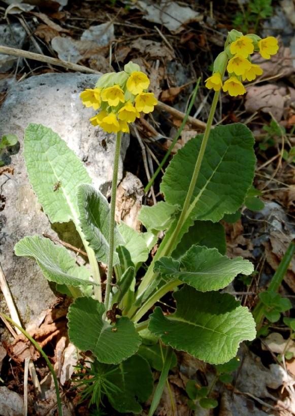 Primula veris subsp. suaveolens