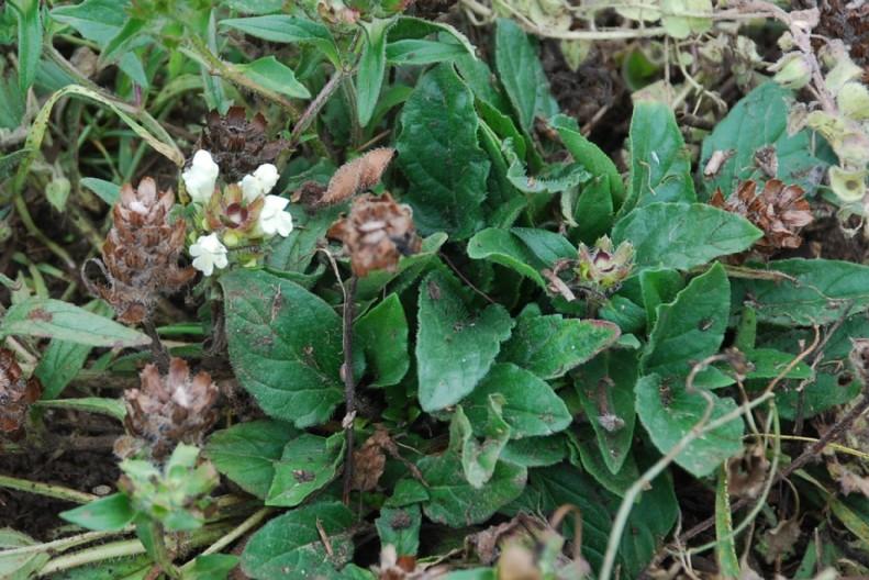 Prunella laciniata 15