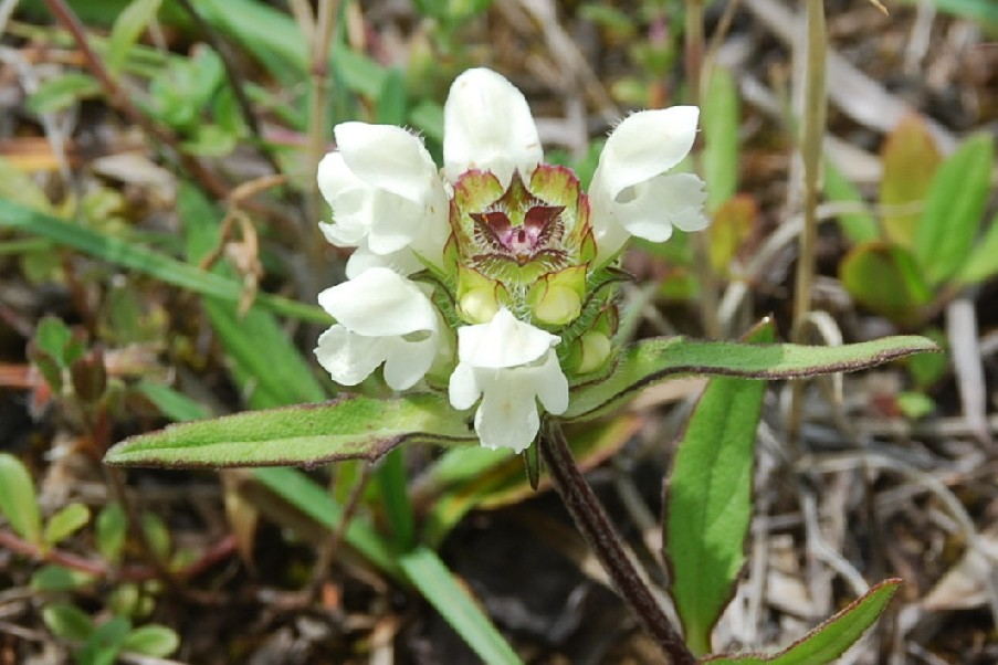Prunella laciniata 21