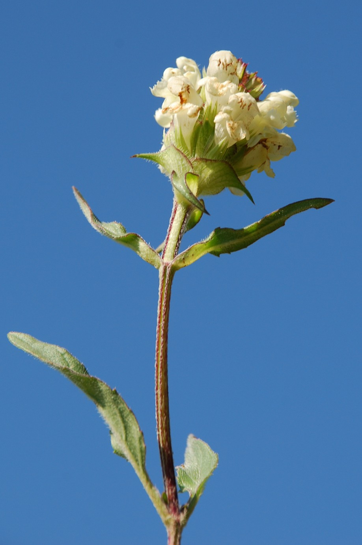 Prunella laciniata 5