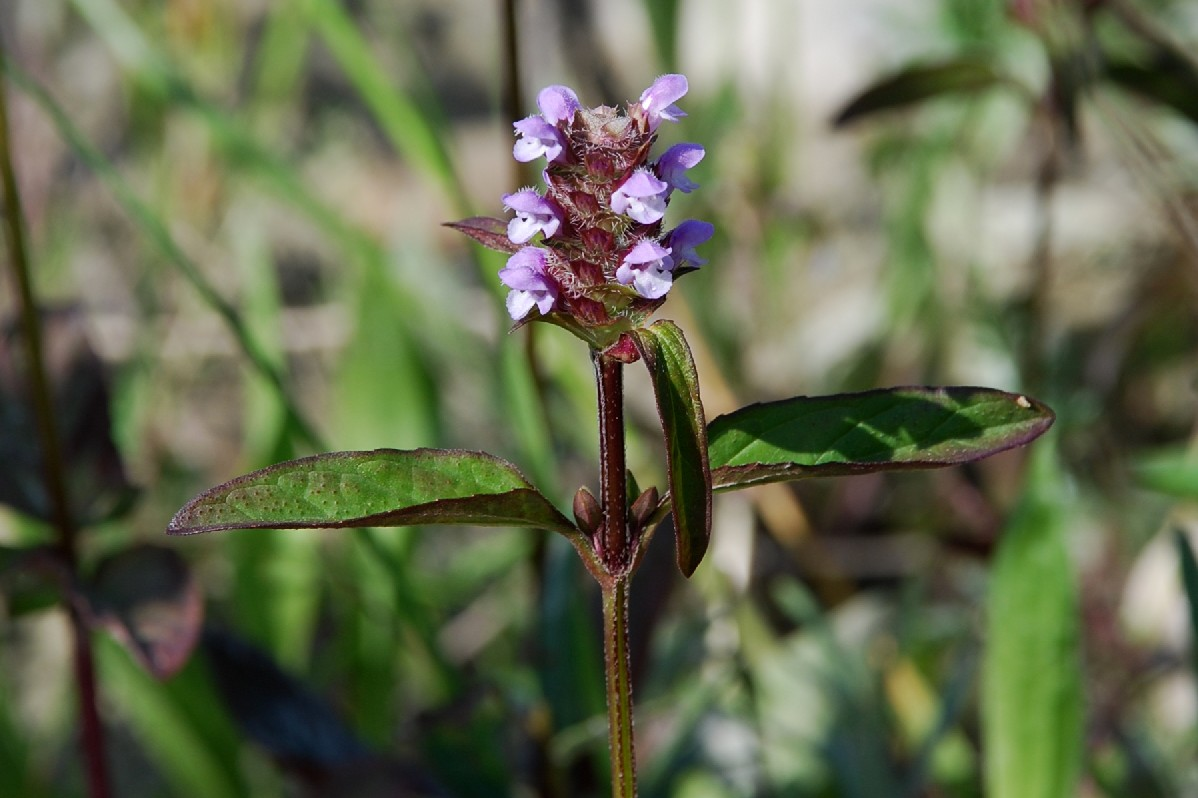 Prunella vulgaris 8