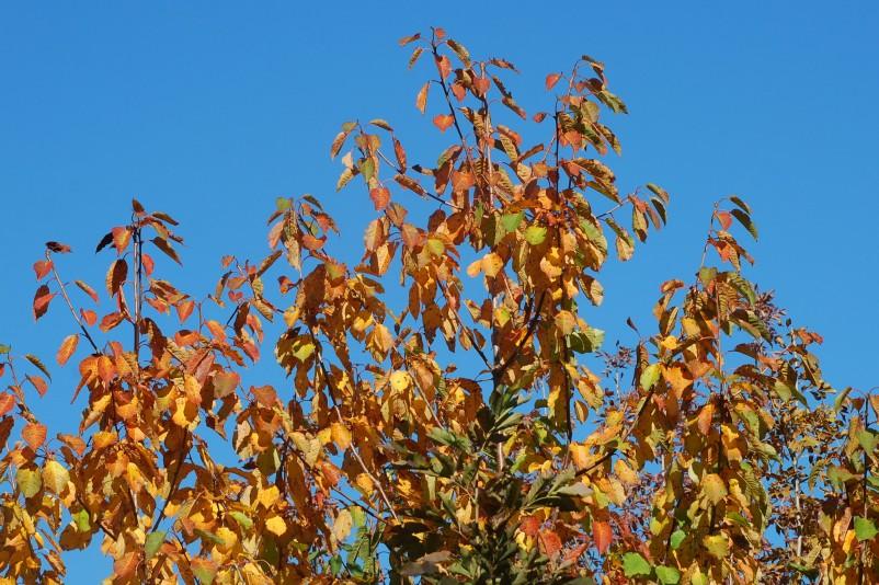 Prunus avium 10