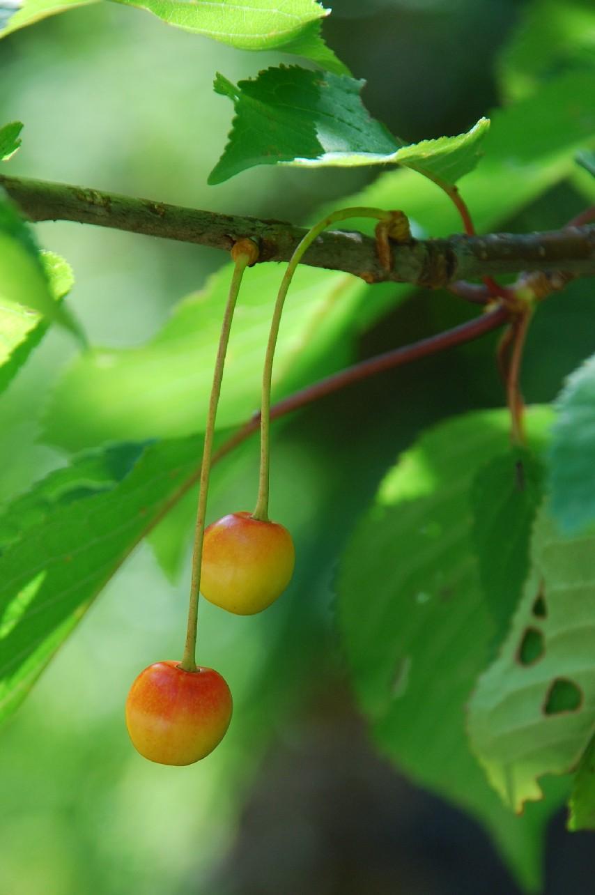 Prunus avium 5