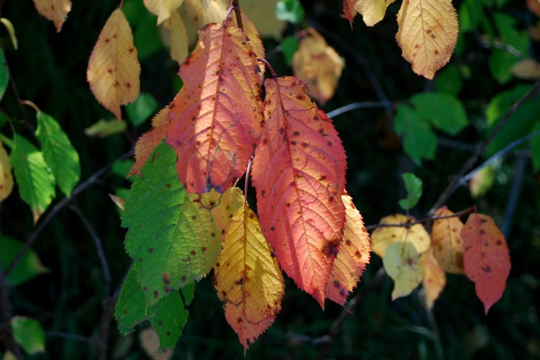 Prunus avium 8