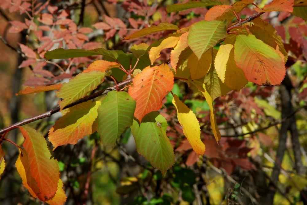 Prunus avium 9