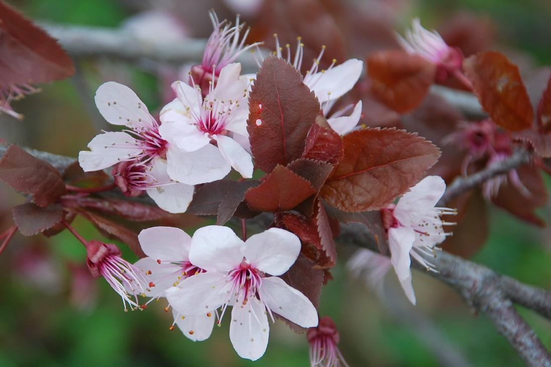 Prunus cerasifera 10
