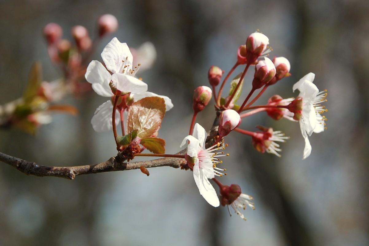 Prunus cerasifera 11