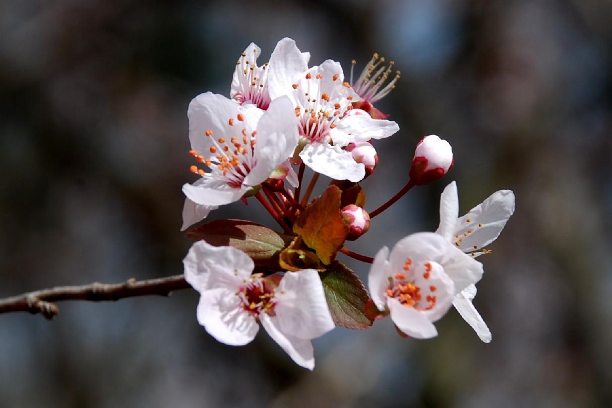 Prunus cerasifera 12