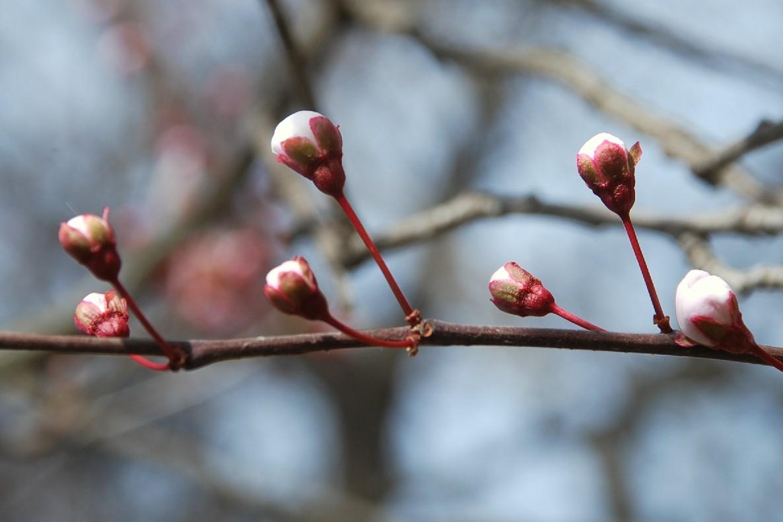 Prunus cerasifera 13