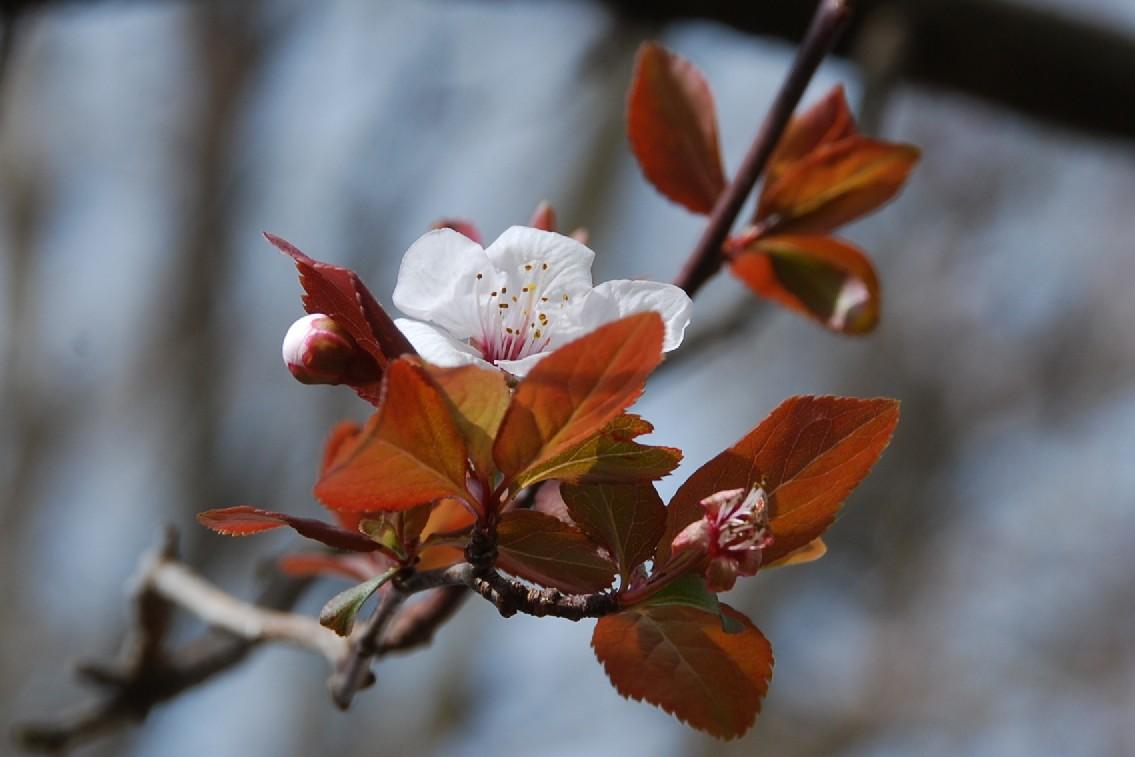 Prunus cerasifera 14