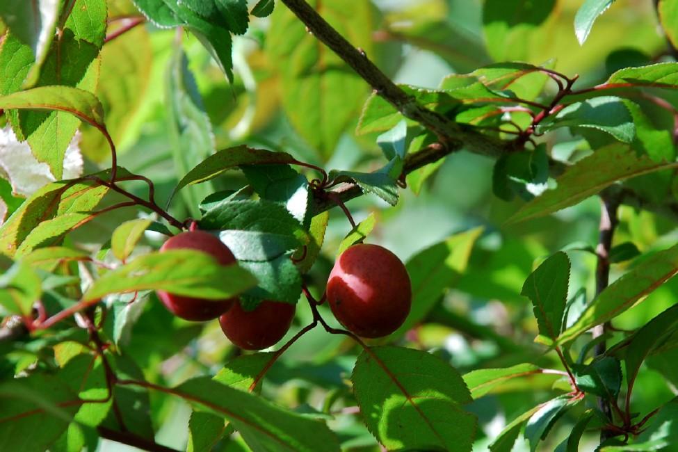 Prunus cerasifera 2