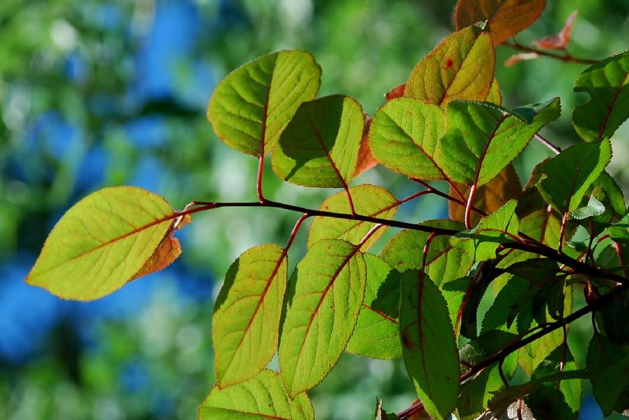 Prunus cerasifera 3