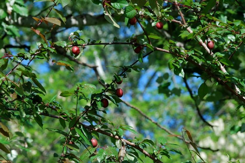 Prunus cerasifera 5