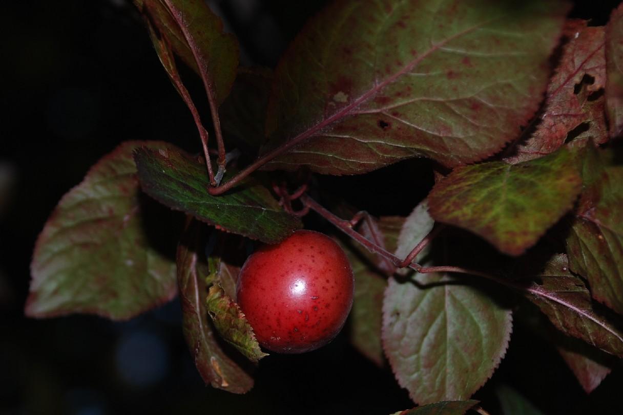 Prunus cerasifera 6