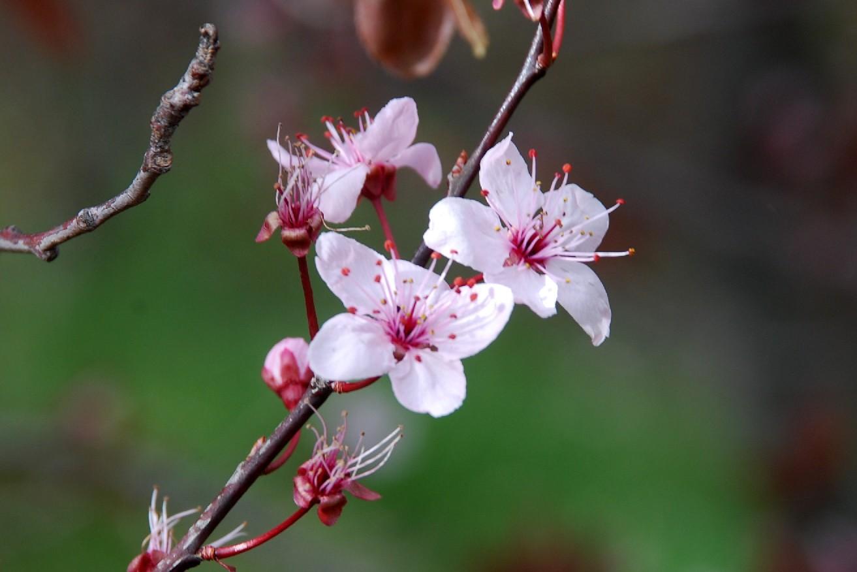 Prunus cerasifera 8