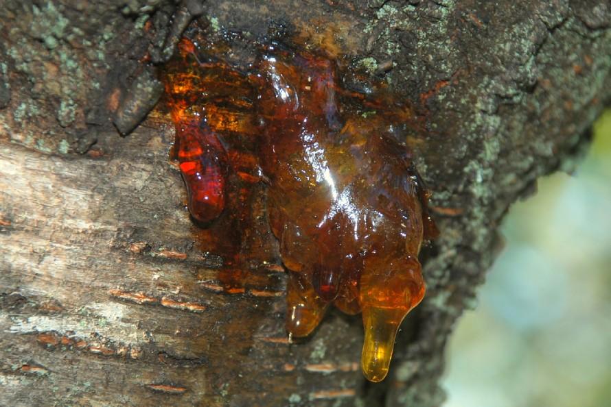 Prunus cerasus 10