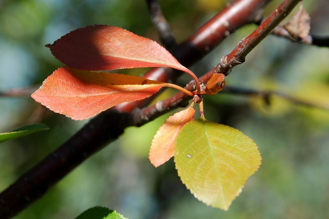 Prunus cerasus 12
