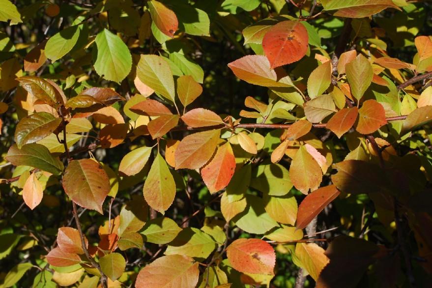 Prunus cerasus 13