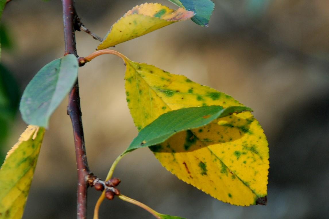Prunus cerasus 3