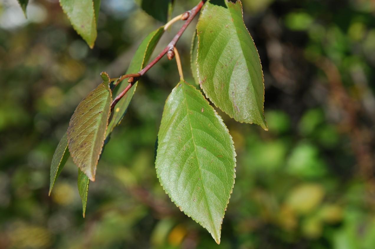 Prunus cerasus 6