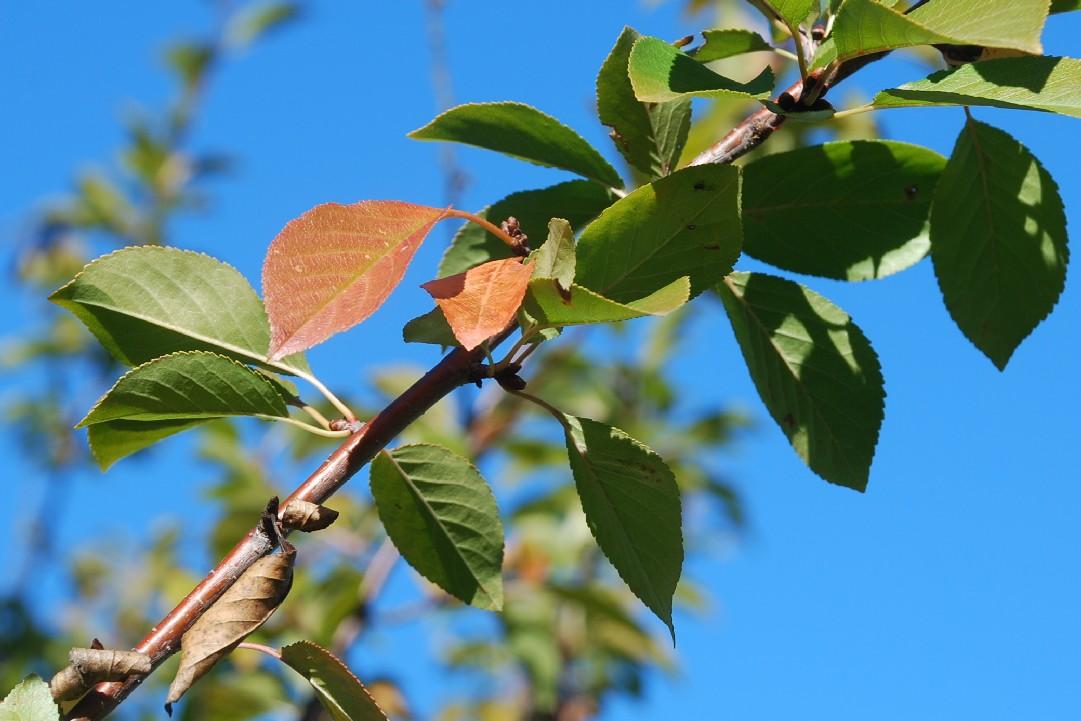 Prunus cerasus 7