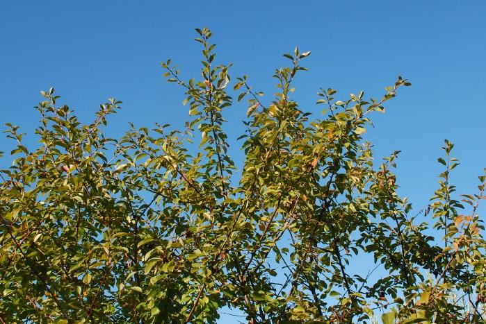 Prunus cerasus 9