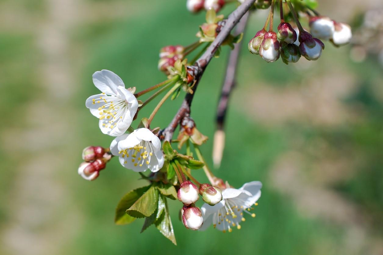 Prunus domestica 10