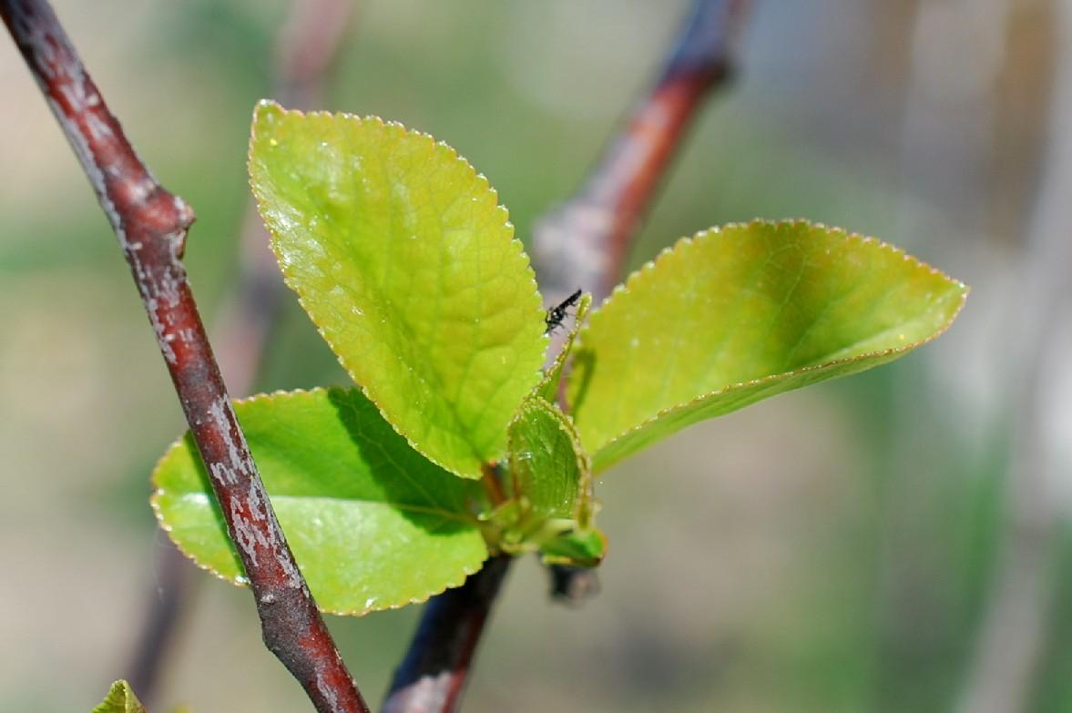 Prunus domestica 11