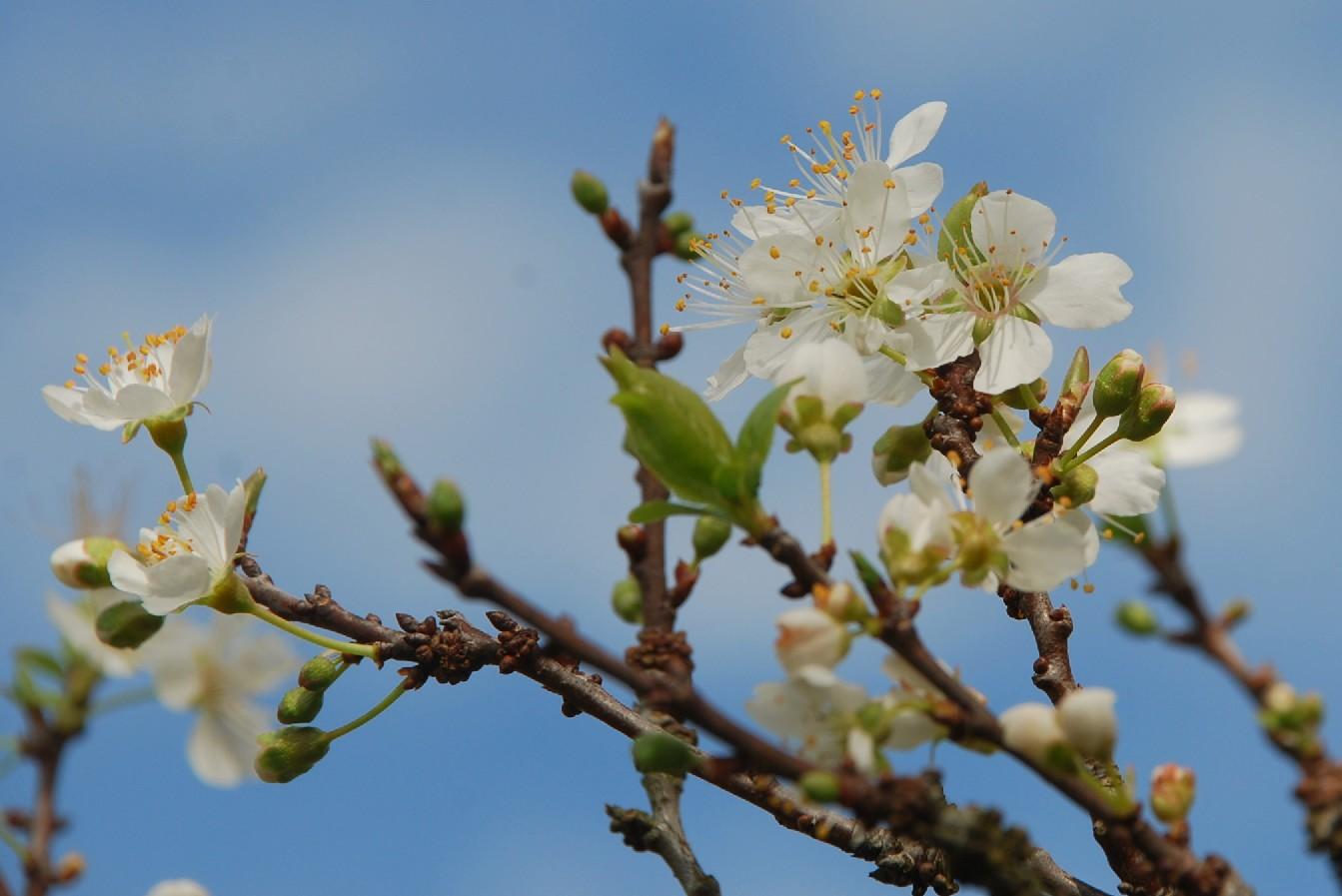 Prunus domestica 4