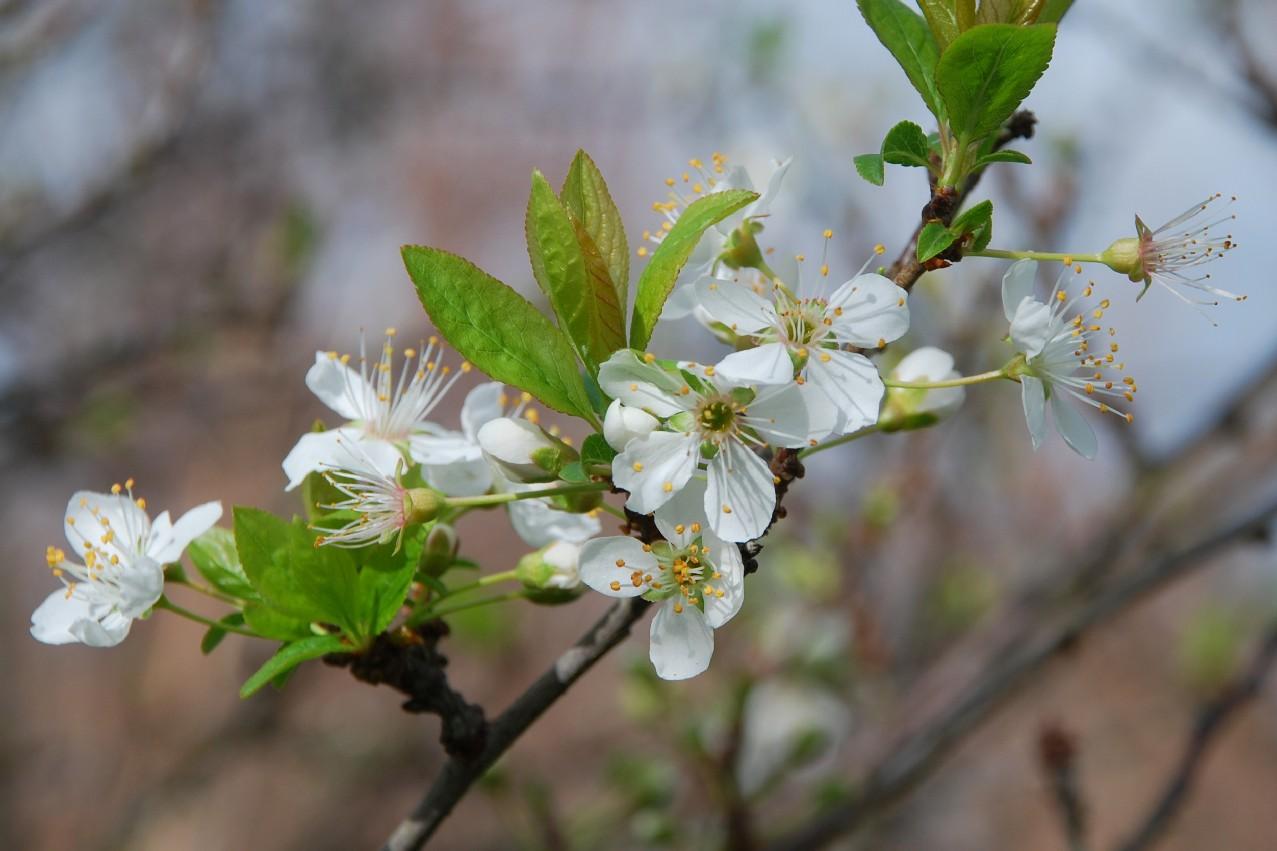 Prunus domestica 5