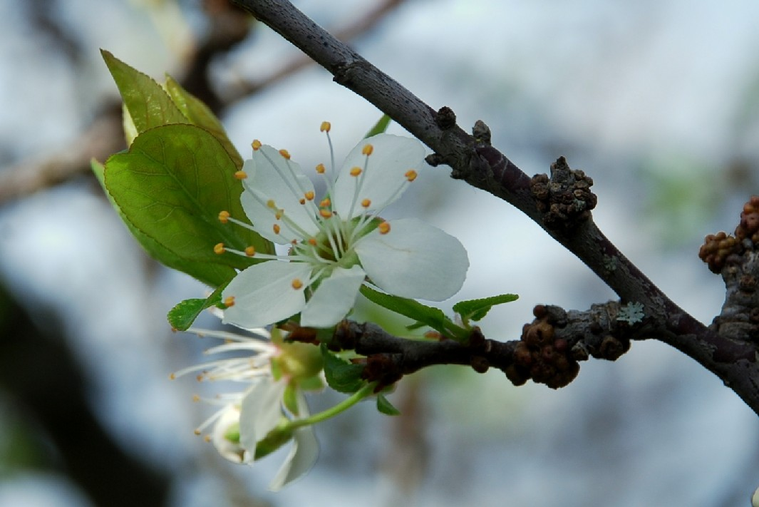 Prunus domestica 6
