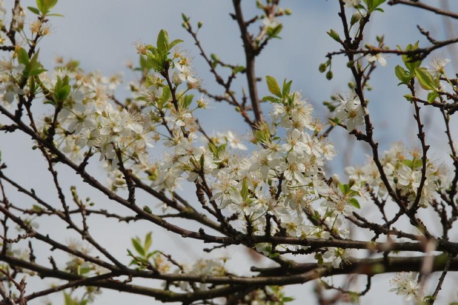 Prunus domestica 7