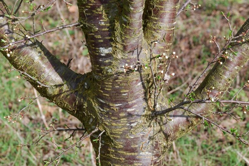 Prunus domestica 8