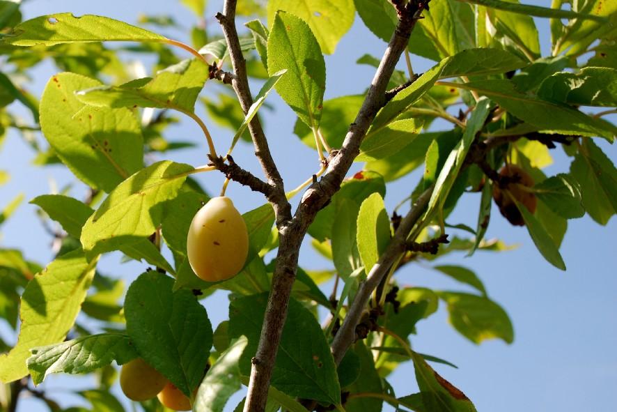 Prunus domestica subsp. domestica