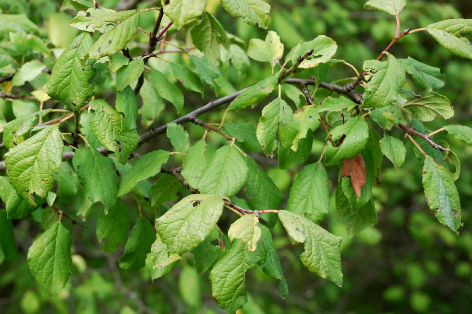 Prunus domestica subsp. insititia 10
