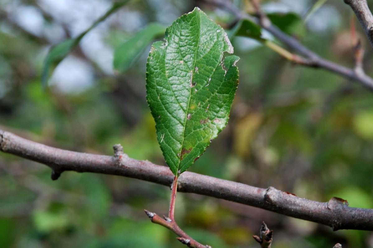 Prunus domestica subsp. insititia 11