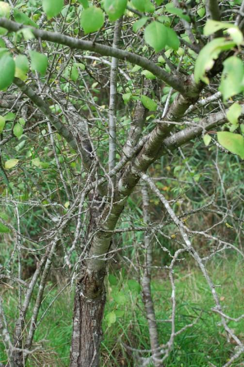 Prunus domestica subsp. insititia 12