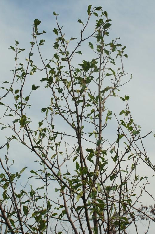 Prunus domestica subsp. insititia 13