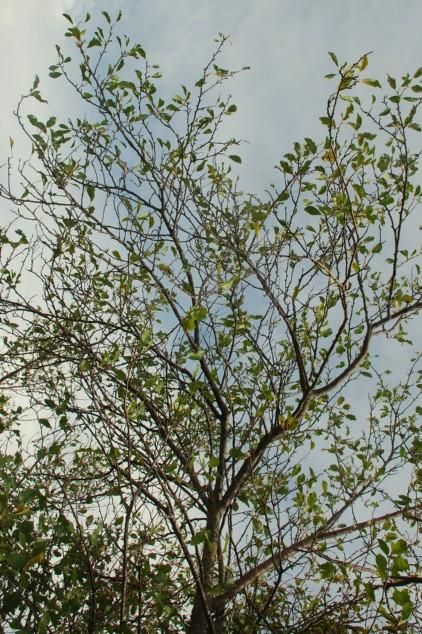 Prunus domestica subsp. insititia 14