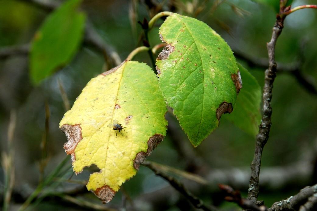 Prunus domestica subsp. insititia 16