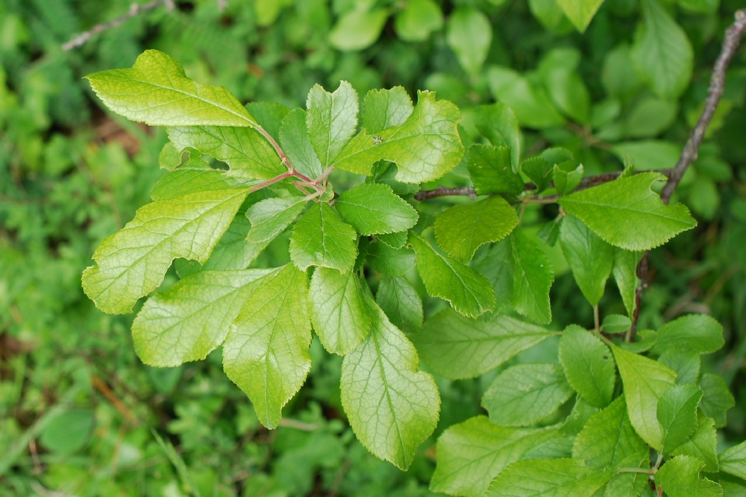Prunus domestica subsp. insititia 17