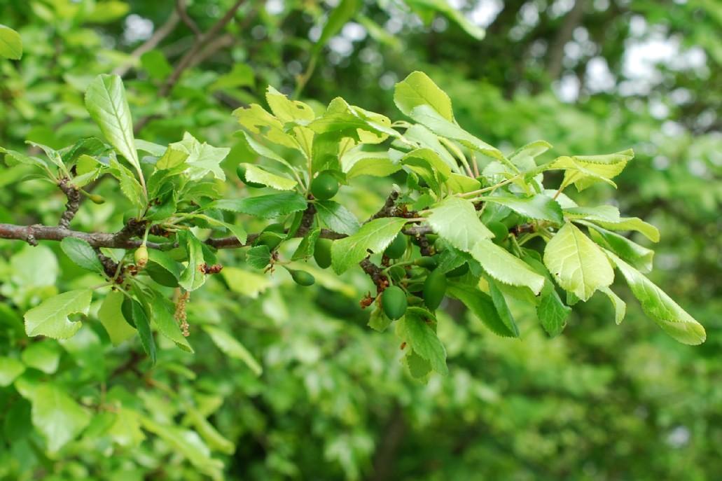 Prunus domestica subsp. insititia 18