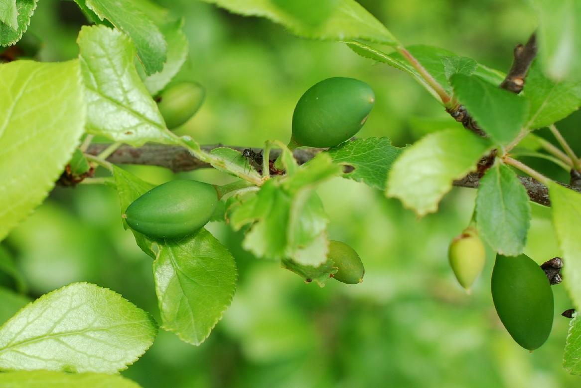 Prunus domestica subsp. insititia 19