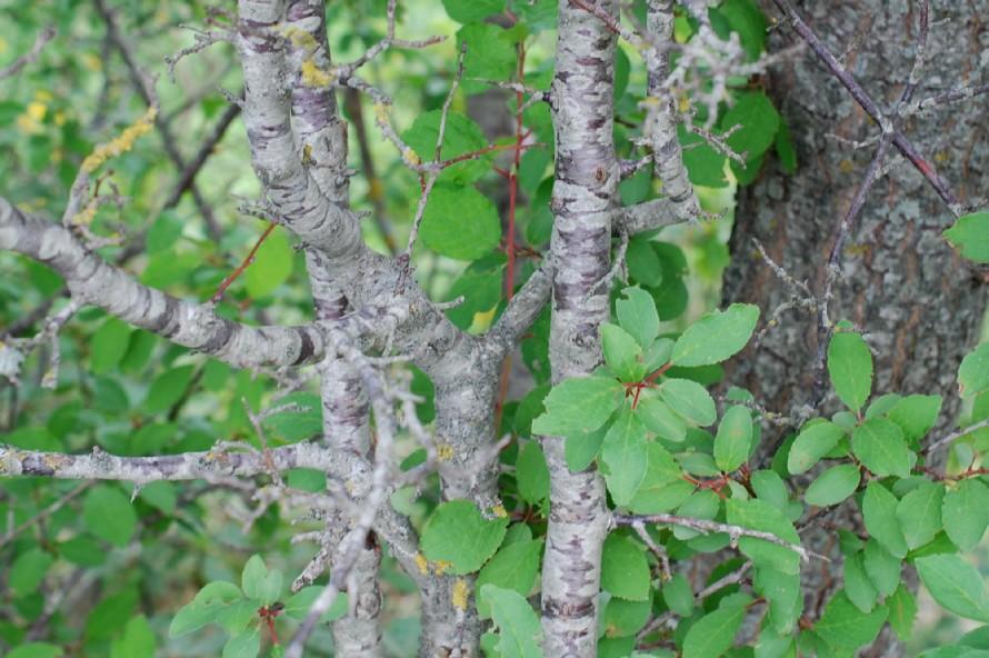 Prunus domestica subsp. insititia 22