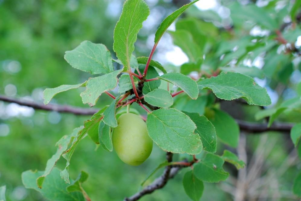 Prunus domestica subsp. insititia 23