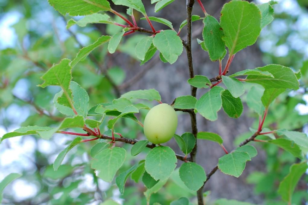 Prunus domestica subsp. insititia 24