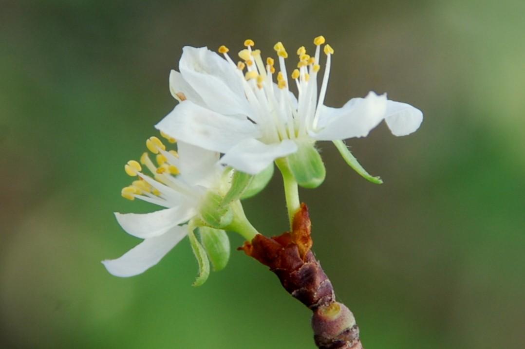 Prunus domestica subsp. insititia 4