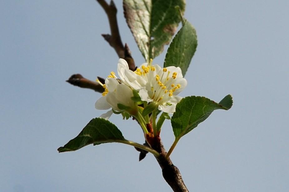 Prunus domestica subsp. insititia 5