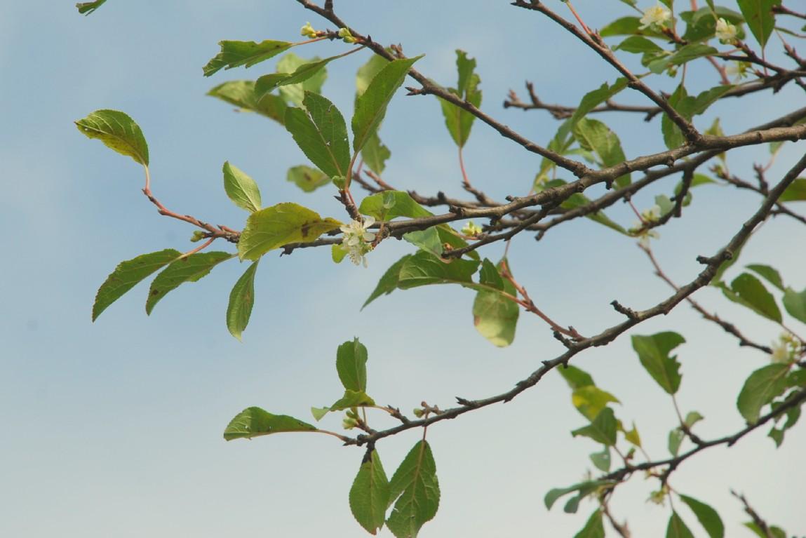 Prunus domestica subsp. insititia 6